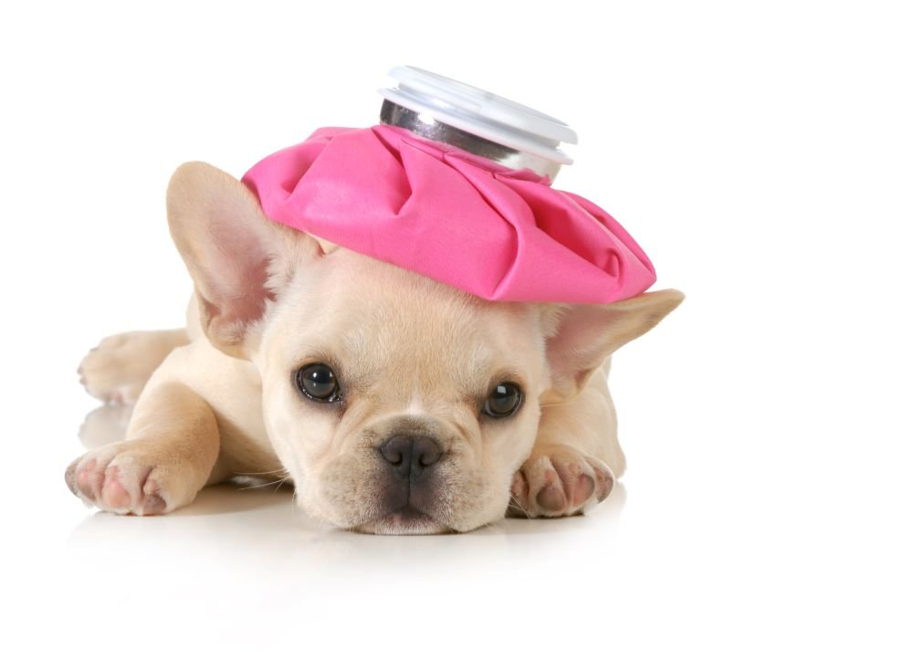 Home Remedies for Fever in Dogs